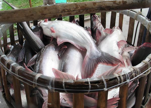 Đề xuất công nhận cá da trơn Việt Nam đủ điều kiện xuất khẩu vào Mỹ