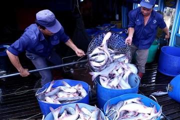 Giá cá tra nguyên liệu đang ở mức cao chưa từng có