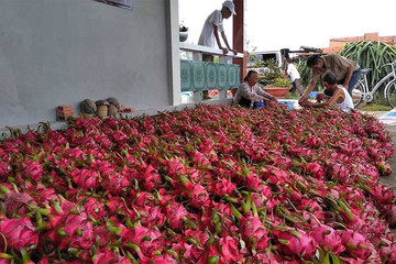 Trung Quốc mở rộng vạn ha thanh long từ Hải Nam sang Lào, Campuchia, dân Việt gặp khó