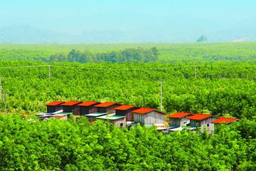 HNG tăng diện tích trồng chuối, giảm trồng ớt