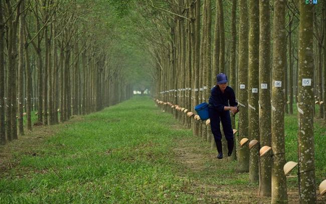 Cao su Tây Ninh (TRC): LNST 9 tháng đạt 54 tỷ đồng, giảm 39% so với cùng kỳ