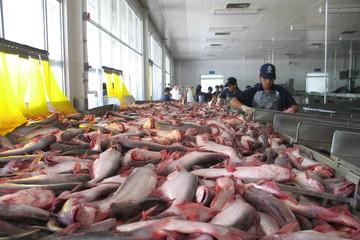 Xuất khẩu cá tra sang Trung Quốc đang gặp khó khăn gì?