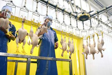 CPTPP được thực thi: Lo ngành chăn nuôi lợn, gà chậm đà tăng trưởng