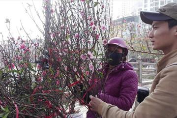 Cành đào mini gây 'sốc' ở Hà Nội