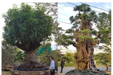 Cây me 2 tỷ đồng, cây xoài 500 triệu tại chợ hoa Sài Gòn