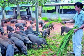 Xuân Kỷ Hợi: Nói chuyện làm giàu từ nuôi lợn
