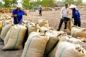 Rớt giá hạt điều tươi, nhà nông Bình Phước mất vui sau Tết