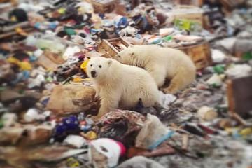Gấu Bắc cực 'xâm chiếm' làng ở Nga