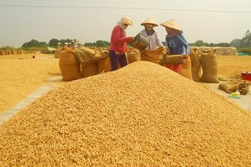 NHNN chỉ đạo cho vay thu mua thóc, gạo tại Đồng bằng sông Cửu Long
