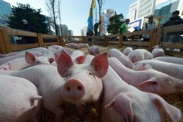 Trung Quốc ngăn chặn dịch ASF bằng cách điều chỉnh toàn bộ ngành chăn nuôi heo