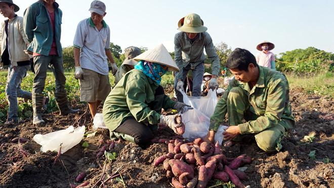 Bấp bênh giá nông sản Tây nguyên