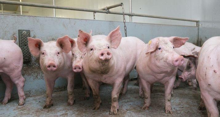 Khống chế dịch tả lợn châu Phi: Đề xuất hỗ trợ 80% giá lợn con, thịt buộc phải tiêu hủy