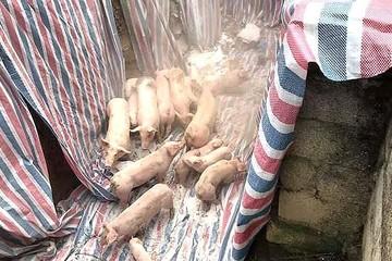 TP HCM ngưng mua lợn từ các tỉnh phía Bắc