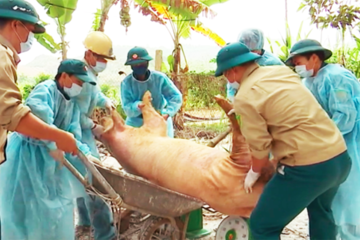 Dịch tả lợn châu Phi lan ra 9 tỉnh