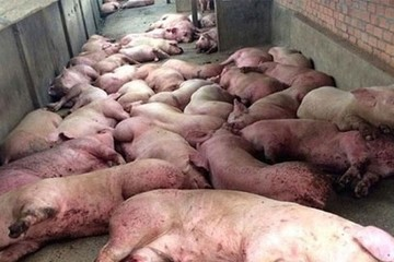Dịch tả lợn châu Phi: Bắt hơn 1.200 kg nội tạng thối, tiêu huỷ hơn 6.500 con lợn bệnh