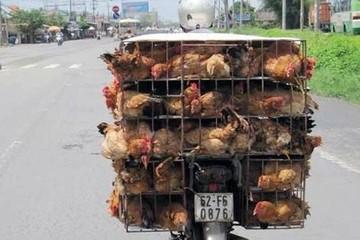 Hải quan bắt giữ 16.500 con gà, vịt, chim bồ câu... năm 2018