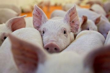 Xem xét miễn giảm lãi suất cho khách vay bị ảnh hưởng bởi dịch tả lợn châu Phi