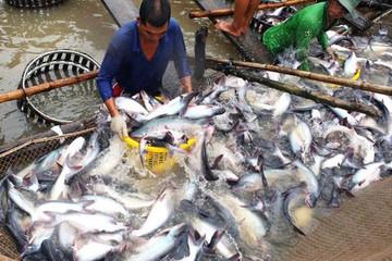 Xuất khẩu cá tra philê của Vĩnh Hoàn giảm 8%