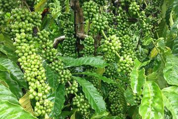 Nhà nước bán vốn tại công ty cà phê Thuận An, giá khởi điểm đấu giá gấp 2,56 lần mệnh giá