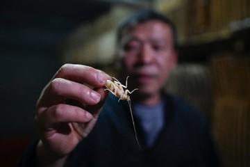 Nông dân Trung Quốc nuôi gián làm thức ăn cho người