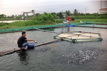 Long An: Nhiều người gánh lỗ tới 130 triệu từ ương cá tra giống