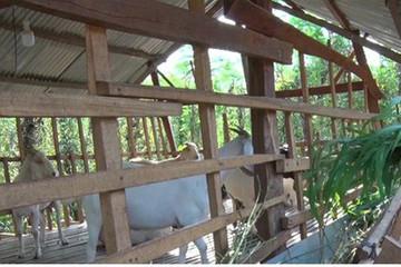 Giá dê tăng cao, nông dân Bình Phước 'vớt vát' thay mùa tiêu mất giá