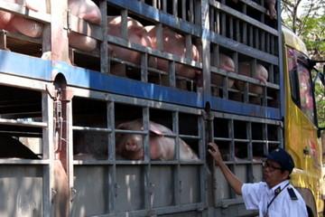 Dịch tả lợn châu Phi xuất hiện ở Đồng Nai
