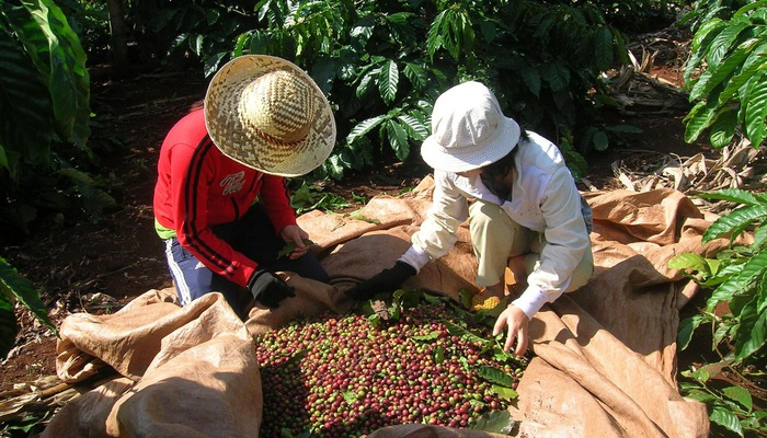 Thị trường cà phê liên tục chao đảo