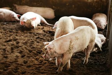 Dịch tả lan rộng khiến giá lợn hơi giảm mạnh