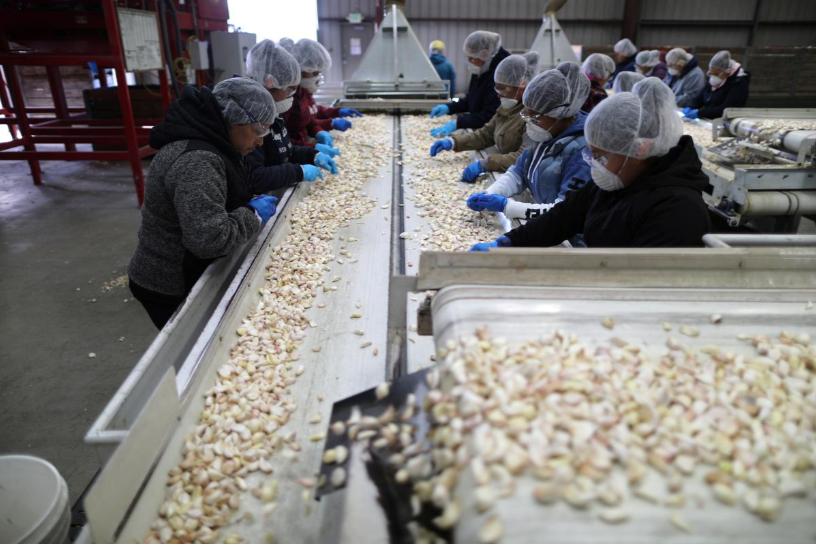 Nông dân trồng tỏi Mỹ mong áp thuế mãi mãi với Trung Quốc
