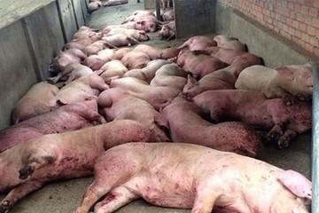 Xuất hiện ổ dịch tả lợn châu Phi đầu tiên ở Tuyên Quang