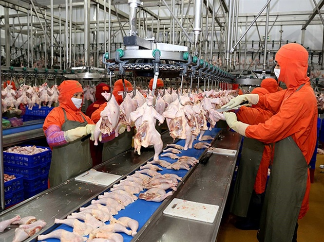 Nhiều 'ông lớn' đầu tư nuôi gà