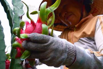 Các nước đua trồng thanh long, Việt Nam phải làm bản quyền giống gấp