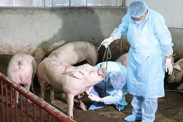 Các địa phương kêu thiếu tiền hỗ trợ tiêu huỷ lợn dịch tả châu Phi