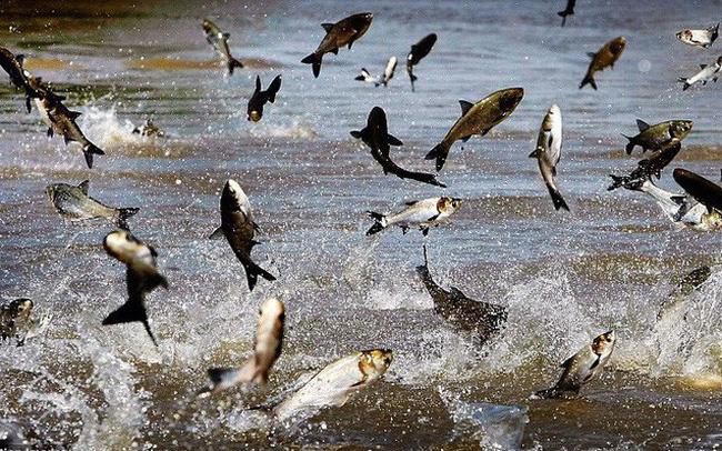 """Sau giai đoạn cổ phiếu tăng gấp 3, thủy sản Nam Việt (ANV) đang """"đau đầu"""" bởi tỷ giá, thị trường cá tra đảo chiều mạnh"""