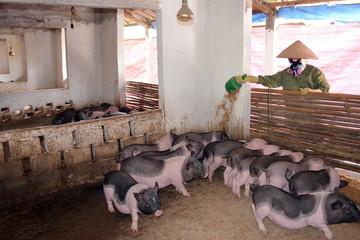 Đưa lợn ra đảo tránh dịch