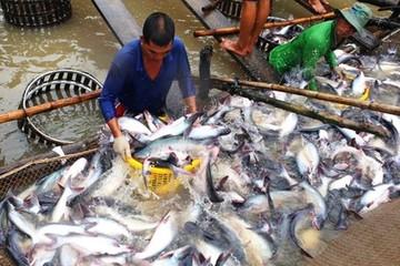 Cá tra Việt rộng đường sang Trung Quốc