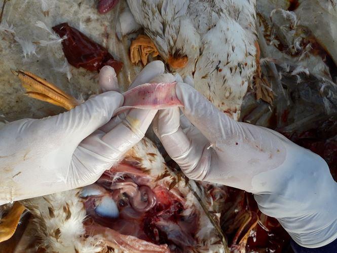 Thái Bình: Dịch tả lợn chưa qua, cúm gia cầm đã tới