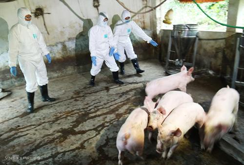 Việt Nam sản xuất thử nghiệm thành công vắc xin phòng dịch tả lợn châu Phi