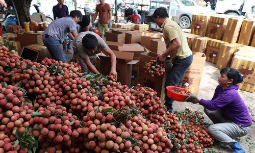 Bắc Giang thu gần 6.400 tỷ nhờ vải thiều giá cao kỷ lục