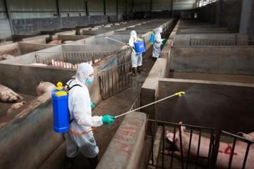 Trung Quốc quyết thay đổi thói quen để đẩy lùi tả lợn châu Phi.