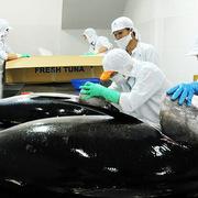Xuất khẩu cá ngừ sang Italia tăng 730% trong nửa năm