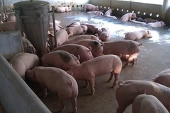 Giá lợn hơi hai miền Nam, Bắc cùng tăng