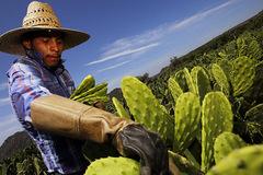 Xương rồng Mexico - giải pháp tiềm năng cho vấn đề nhựa của thế giới