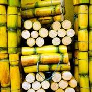 Doanh nghiệp ngành mía đường hoang mang trước nguy cơ đóng cửa