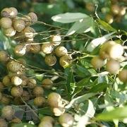 Nhãn mất mùa, nhiều nhà vườn ở Hưng Yên thất thu nặng