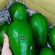 Vài trăm nghìn đồng một trái bơ Đài Loan