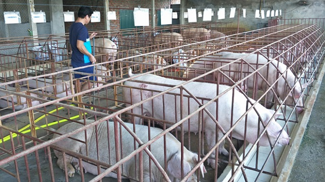 Dự báo thiếu 500.000 tấn thịt lợn vào cuối năm