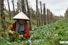 Vượt quy hoạch 100.000 ha, hồ tiêu Việt Nam gặp khủng hoảng