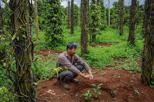 Các ngân hàng vào cuộc hỗ trợ nông dân trồng tiêu ở Tây Nguyên